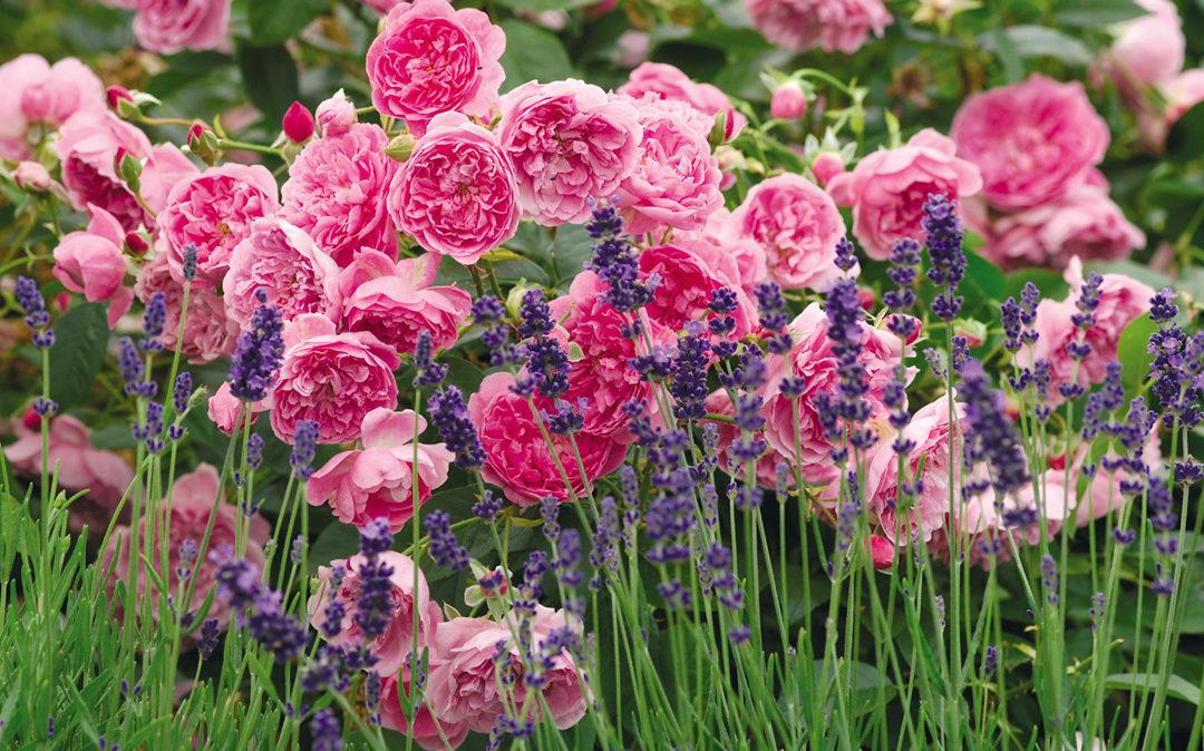 Nyolc érv, amiért érdemes társnövényeket ültetnünk a rózsáink mellé
