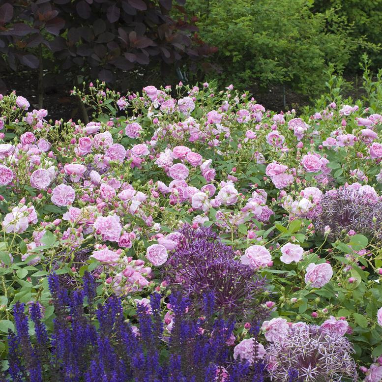 Vöröslombú cserszömörce (Cotinus cogg. Royal Purple), Ligeti Zsálya (Salvia nemorosa) és Díszhagyma (Alium)
